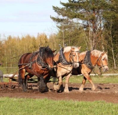 Kolme hevosta rinnan. Kuka väsyy ensimmäiselle. Mikä työvaihe on helppo, mikä vaikea ja ennen kaikkea MIKSI. Kokonaisen työpäivän aikana ehtii ajatella paljon.