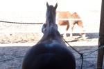 Hevoshieroja Ikaalinen