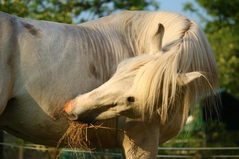 Hevosen taivuttaminen