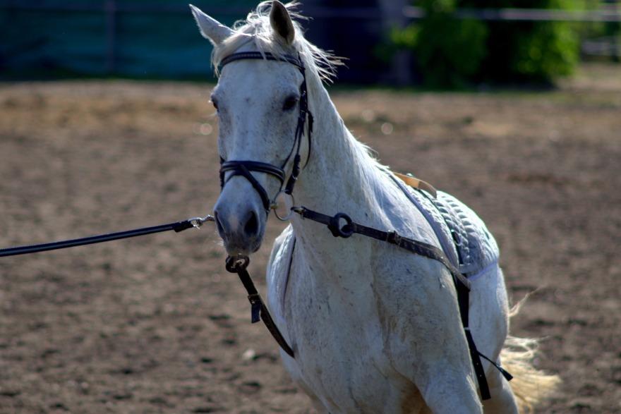 Hevosen juoksuttaminen liinassa