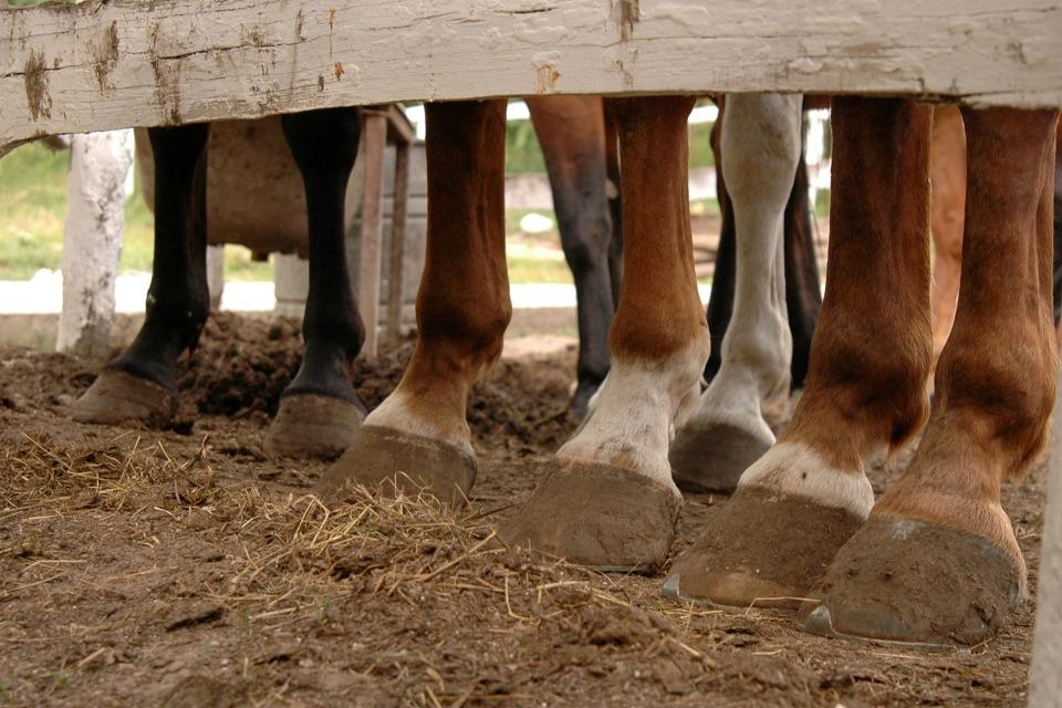 Hevonen seisoo