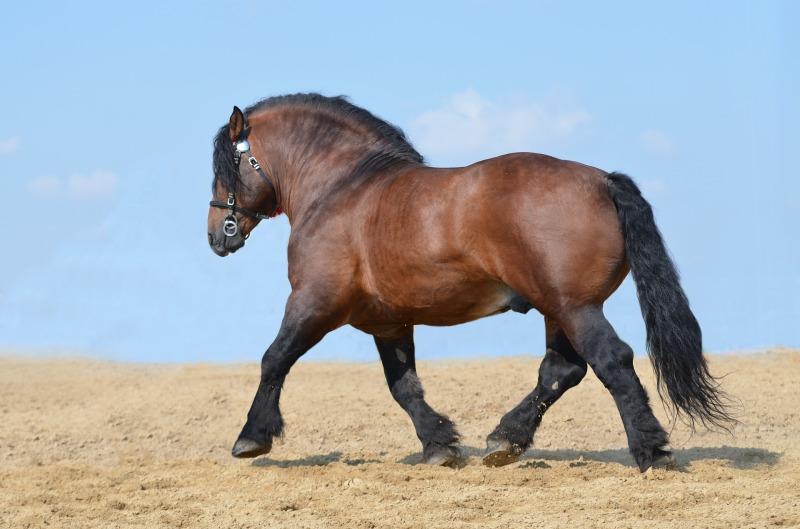 Metabolinen hevonen