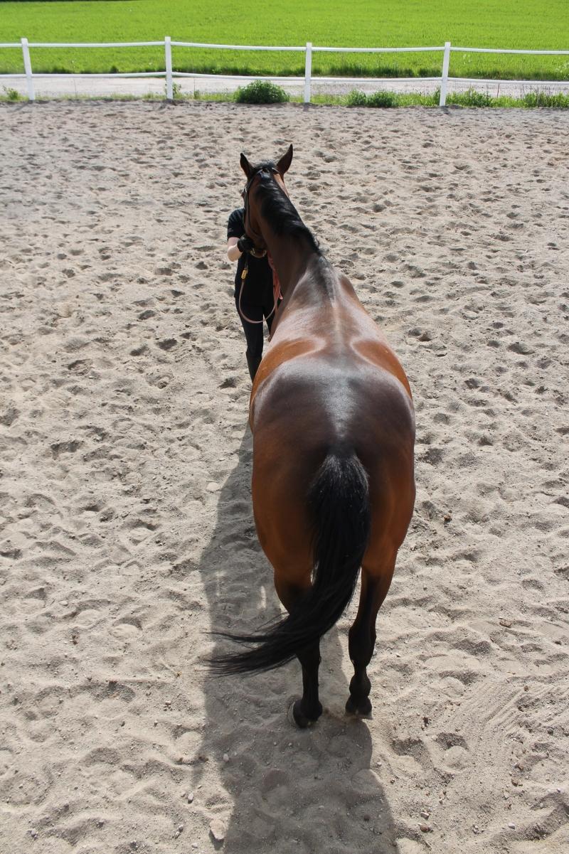 Vino hevonen