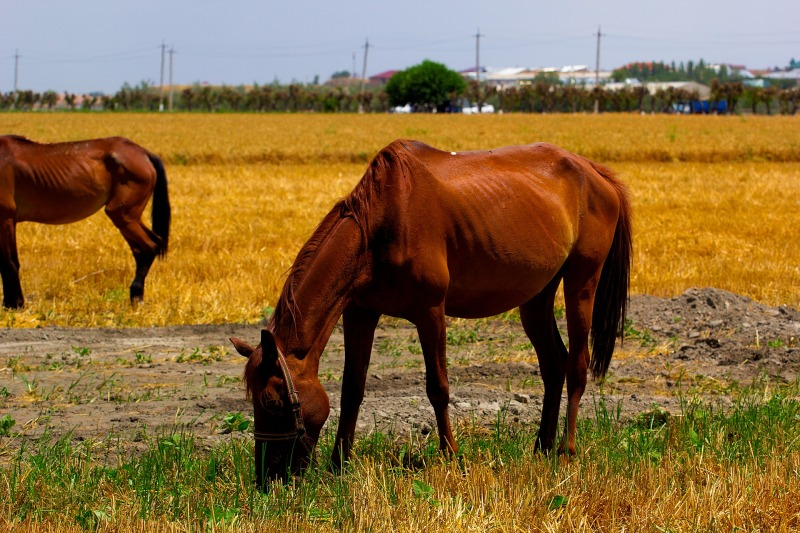 lihasköyhä hevonen