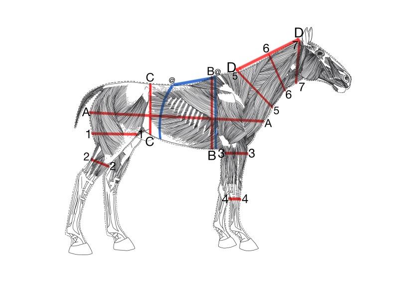 Hevosen mittaaminen