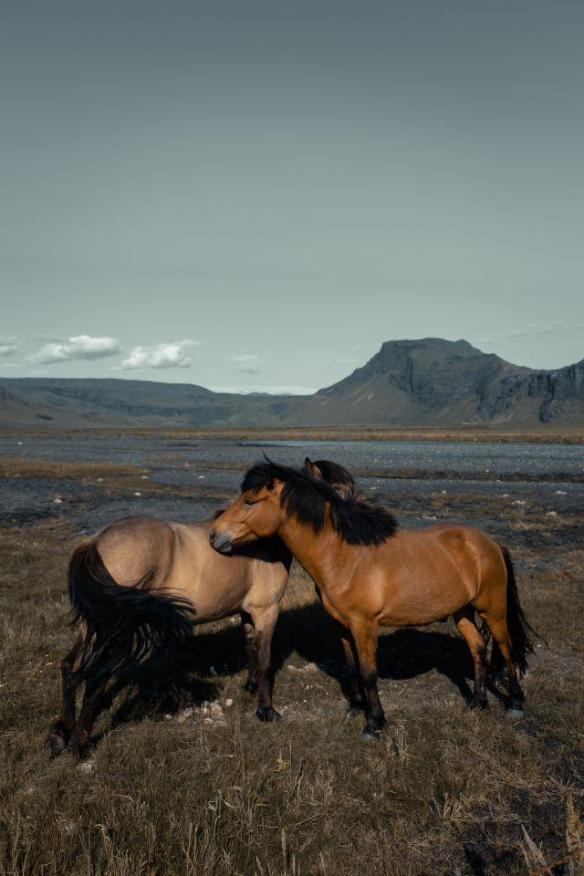 Islanninhevoset kuormankanto