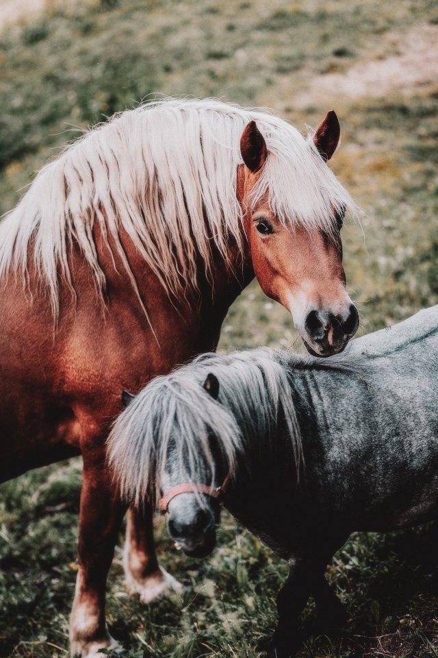 hevosen niskan rasvakertymä