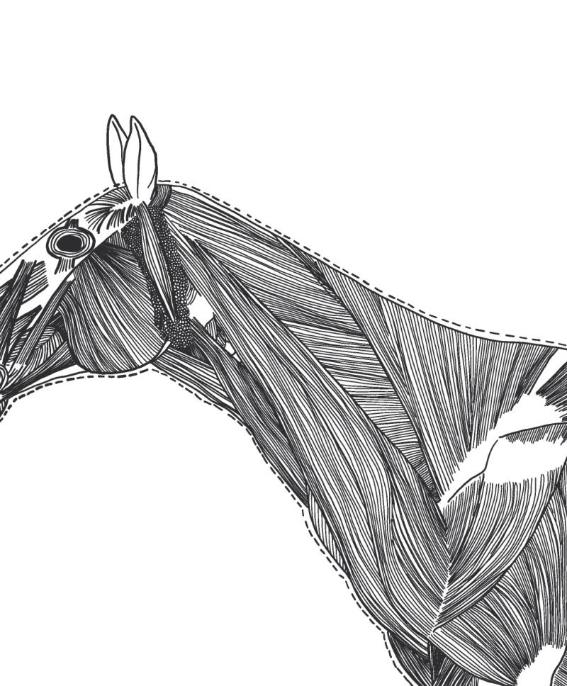 Hevosen kaulan lihakset