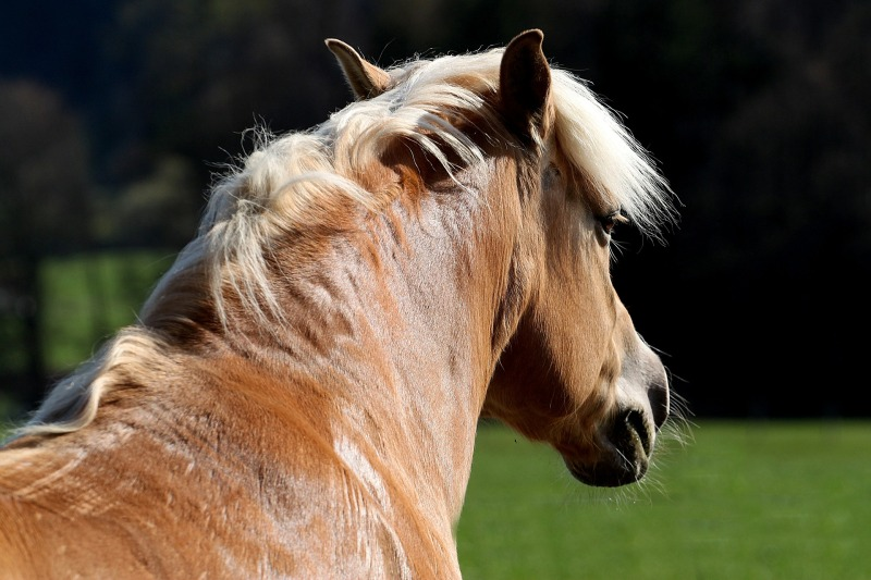 Lihava hevonen