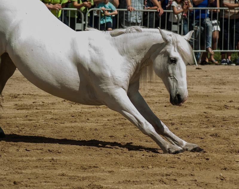 Hevosen venyttely