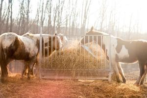 Hevosen laihdutus