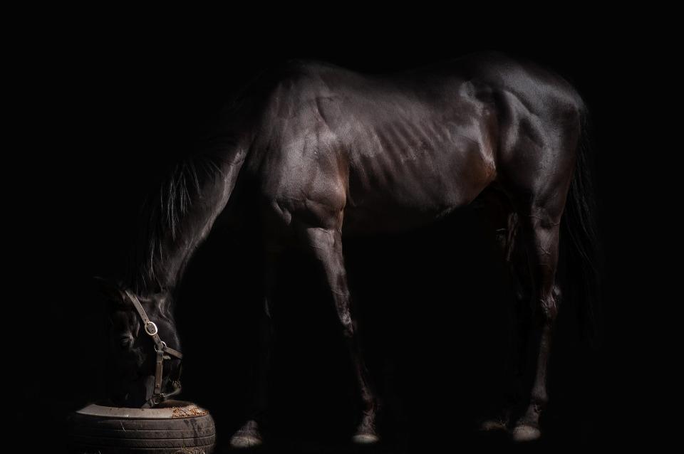 hevosen lihavuus