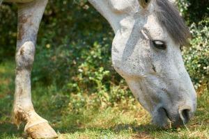 Hevosen pään muoto