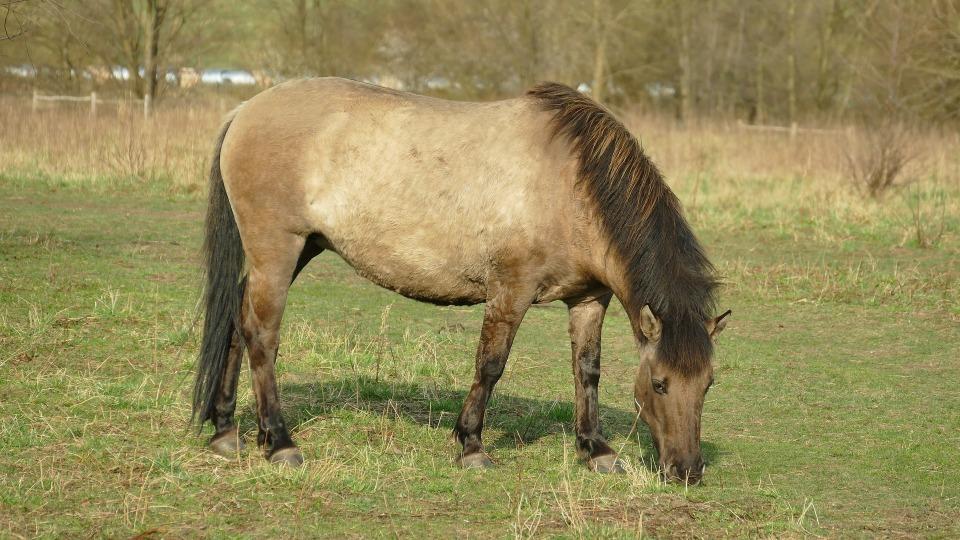 Heinämaha hevosella